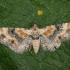 Geltonrudis sprindytis - Eupithecia linariata | Fotografijos autorius : Žilvinas Pūtys | © Macrogamta.lt | Šis tinklapis priklauso bendruomenei kuri domisi makro fotografija ir fotografuoja gyvąjį makro pasaulį.