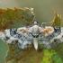 Geltonrudis sprindytis - Eupithecia linariata | Fotografijos autorius : Gintautas Steiblys | © Macrogamta.lt | Šis tinklapis priklauso bendruomenei kuri domisi makro fotografija ir fotografuoja gyvąjį makro pasaulį.