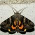 Geltonsparnė peteliškė - Catocala fulminea | Fotografijos autorius : Vidas Brazauskas | © Macrogamta.lt | Šis tinklapis priklauso bendruomenei kuri domisi makro fotografija ir fotografuoja gyvąjį makro pasaulį.
