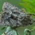 Geltonsparnis pelėdgalvis - Thalpophila matura | Fotografijos autorius : Gintautas Steiblys | © Macrogamta.lt | Šis tinklapis priklauso bendruomenei kuri domisi makro fotografija ir fotografuoja gyvąjį makro pasaulį.