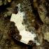 Gervuoginė cidarija - Mesoleuca albicillata | Fotografijos autorius : Romas Ferenca | © Macrogamta.lt | Šis tinklapis priklauso bendruomenei kuri domisi makro fotografija ir fotografuoja gyvąjį makro pasaulį.