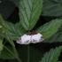 Gervuoginė cidarija - Mesoleuca albicillata | Fotografijos autorius : Vytautas Gluoksnis | © Macrogamta.lt | Šis tinklapis priklauso bendruomenei kuri domisi makro fotografija ir fotografuoja gyvąjį makro pasaulį.