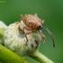 Gilinis vaisiastraublis - Curculio glandium | Fotografijos autorius : Romas Ferenca | © Macrogamta.lt | Šis tinklapis priklauso bendruomenei kuri domisi makro fotografija ir fotografuoja gyvąjį makro pasaulį.