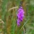 Paprastasis kardelis - Gladiolus imbricatus | Fotografijos autorius : Jogaila Mackevičius | © Macrogamta.lt | Šis tinklapis priklauso bendruomenei kuri domisi makro fotografija ir fotografuoja gyvąjį makro pasaulį.