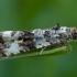 Glindinė endotenija - Endothenia marginana | Fotografijos autorius : Žilvinas Pūtys | © Macrogamta.lt | Šis tinklapis priklauso bendruomenei kuri domisi makro fotografija ir fotografuoja gyvąjį makro pasaulį.