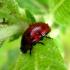 Gluosninis dygblauzdis | Fotografijos autorius : Vitalii Alekseev | © Macrogamta.lt | Šis tinklapis priklauso bendruomenei kuri domisi makro fotografija ir fotografuoja gyvąjį makro pasaulį.