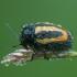 Graižinis paslėptagalvis - Cryptocephalus vittatus | Fotografijos autorius : Žilvinas Pūtys | © Macrogamta.lt | Šis tinklapis priklauso bendruomenei kuri domisi makro fotografija ir fotografuoja gyvąjį makro pasaulį.