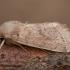 Grakštusis ankstyvasis pelėdgalvis - Orthosia cerasi | Fotografijos autorius : Žilvinas Pūtys | © Macrogamta.lt | Šis tinklapis priklauso bendruomenei kuri domisi makro fotografija ir fotografuoja gyvąjį makro pasaulį.