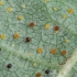 Lazdyninė filaktinija - Phyllactinia guttata | Fotografijos autorius : Vidas Brazauskas | © Macrogamta.lt | Šis tinklapis priklauso bendruomenei kuri domisi makro fotografija ir fotografuoja gyvąjį makro pasaulį.