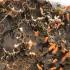 Meškapėdė - Peltigera sp. | Fotografijos autorius : Vidas Brazauskas | © Macrogamta.lt | Šis tinklapis priklauso bendruomenei kuri domisi makro fotografija ir fotografuoja gyvąjį makro pasaulį.