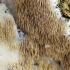 Juostinė kavinija - Hydnocristella himantia | Fotografijos autorius : Kazimieras Martinaitis | © Macrogamta.lt | Šis tinklapis priklauso bendruomenei kuri domisi makro fotografija ir fotografuoja gyvąjį makro pasaulį.