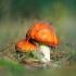 Paprastoji musmirė - Amanita muscaria | Fotografijos autorius : Vidas Brazauskas | © Macrogamta.lt | Šis tinklapis priklauso bendruomenei kuri domisi makro fotografija ir fotografuoja gyvąjį makro pasaulį.