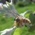Grybas - Entomophthora muscae   Fotografijos autorius : Agnė Kulpytė   © Macrogamta.lt   Šis tinklapis priklauso bendruomenei kuri domisi makro fotografija ir fotografuoja gyvąjį makro pasaulį.