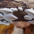 Postia sp. ?   Fotografijos autorius : Žilvinas Pūtys   © Macrogamta.lt   Šis tinklapis priklauso bendruomenei kuri domisi makro fotografija ir fotografuoja gyvąjį makro pasaulį.