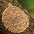 Cylindrobasidium evolvens | Fotografijos autorius : Vidas Brazauskas | © Macrogamta.lt | Šis tinklapis priklauso bendruomenei kuri domisi makro fotografija ir fotografuoja gyvąjį makro pasaulį.