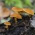 Mažoji skujagalvė - Pholiota tuberculosa  | Fotografijos autorius : Darius Baužys | © Macrogamta.lt | Šis tinklapis priklauso bendruomenei kuri domisi makro fotografija ir fotografuoja gyvąjį makro pasaulį.