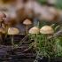 Eglinė kūgiabudė - Galerina marginata | Fotografijos autorius : Darius Baužys | © Macrogamta.lt | Šis tinklapis priklauso bendruomenei kuri domisi makro fotografija ir fotografuoja gyvąjį makro pasaulį.