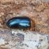 Grybelinis niauravabalis - Tetratoma fungorum | Fotografijos autorius : Kazimieras Martinaitis | © Macrogamta.lt | Šis tinklapis priklauso bendruomenei kuri domisi makro fotografija ir fotografuoja gyvąjį makro pasaulį.