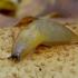 Grybinis šliužiukas - Malacolimax tenellus | Fotografijos autorius : Romas Ferenca | © Macrogamta.lt | Šis tinklapis priklauso bendruomenei kuri domisi makro fotografija ir fotografuoja gyvąjį makro pasaulį.