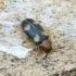 Grybvabalis - Mycetophagus fulvicollis | Fotografijos autorius : Romas Ferenca | © Macrogamta.lt | Šis tinklapis priklauso bendruomenei kuri domisi makro fotografija ir fotografuoja gyvąjį makro pasaulį.
