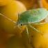 Gudobelinė skydblakė - Acanthosoma haemorrhoidale, nimfa | Fotografijos autorius : Žilvinas Pūtys | © Macrogamta.lt | Šis tinklapis priklauso bendruomenei kuri domisi makro fotografija ir fotografuoja gyvąjį makro pasaulį.