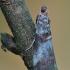 Gudobelinis siaurasparnis ugniukas - Acrobasis advenella   Fotografijos autorius : Arūnas Eismantas   © Macrogamta.lt   Šis tinklapis priklauso bendruomenei kuri domisi makro fotografija ir fotografuoja gyvąjį makro pasaulį.