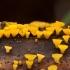 Guepiniopsis buccina | Fotografijos autorius : Žilvinas Pūtys | © Macrogamta.lt | Šis tinklapis priklauso bendruomenei kuri domisi makro fotografija ir fotografuoja gyvąjį makro pasaulį.
