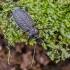 Gumburiuotasis puošniažygis - Carabus granulatus | Fotografijos autorius : Kazimieras Martinaitis | © Macrogamta.lt | Šis tinklapis priklauso bendruomenei kuri domisi makro fotografija ir fotografuoja gyvąjį makro pasaulį.