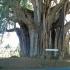 Gvatemalinis taksodis - Taxodium mucronatum | Fotografijos autorius : Vitalij Drozdov | © Macrogamta.lt | Šis tinklapis priklauso bendruomenei kuri domisi makro fotografija ir fotografuoja gyvąjį makro pasaulį.