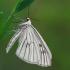 Gyslotasis sprindis - Siona lineata | Fotografijos autorius : Gintautas Steiblys | © Macrogamta.lt | Šis tinklapis priklauso bendruomenei kuri domisi makro fotografija ir fotografuoja gyvąjį makro pasaulį.