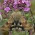 Liucerninis saulinukas - Heliothis viriplaca | Fotografijos autorius : Gintautas Steiblys | © Macrogamta.lt | Šis tinklapis priklauso bendruomenei kuri domisi makro fotografija ir fotografuoja gyvąjį makro pasaulį.