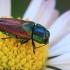 Blizgiavabalis - Anthaxia passerini  | Fotografijos autorius : Gintautas Steiblys | © Macrogamta.lt | Šis tinklapis priklauso bendruomenei kuri domisi makro fotografija ir fotografuoja gyvąjį makro pasaulį.