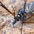 Ilgakojis uodas - Nephrotoma crocata | Fotografijos autorius : Romas Ferenca | © Macrogamta.lt | Šis tinklapis priklauso bendruomenei kuri domisi makro fotografija ir fotografuoja gyvąjį makro pasaulį.