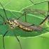 Ilgakojis uodas - Nephrotoma lamellata | Fotografijos autorius : Gintautas Steiblys | © Macrogamta.lt | Šis tinklapis priklauso bendruomenei kuri domisi makro fotografija ir fotografuoja gyvąjį makro pasaulį.