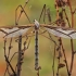 Ilgakojis uodas - Pedicia rivosa ♂ | Fotografijos autorius : Gintautas Steiblys | © Macrogamta.lt | Šis tinklapis priklauso bendruomenei kuri domisi makro fotografija ir fotografuoja gyvąjį makro pasaulį.