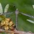 Ilgakojis uodas - Tipula lateralis ♀ | Fotografijos autorius : Žilvinas Pūtys | © Macrogamta.lt | Šis tinklapis priklauso bendruomenei kuri domisi makro fotografija ir fotografuoja gyvąjį makro pasaulį.