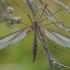 Ilgakojis uodas - Tipula oleracea ♀   Fotografijos autorius : Žilvinas Pūtys   © Macrogamta.lt   Šis tinklapis priklauso bendruomenei kuri domisi makro fotografija ir fotografuoja gyvąjį makro pasaulį.