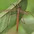 Pelkinis ilgakojis uodas - Tipula paludosa    Fotografijos autorius : Gintautas Steiblys   © Macrogamta.lt   Šis tinklapis priklauso bendruomenei kuri domisi makro fotografija ir fotografuoja gyvąjį makro pasaulį.
