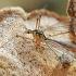 Ilgakojis uodas - Nephrotoma cornicina | Fotografijos autorius : Gintautas Steiblys | © Macrogamta.lt | Šis tinklapis priklauso bendruomenei kuri domisi makro fotografija ir fotografuoja gyvąjį makro pasaulį.