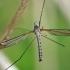 Ilgakojis uodas - Tipula coerulescens | Fotografijos autorius : Gintautas Steiblys | © Macrogamta.lt | Šis tinklapis priklauso bendruomenei kuri domisi makro fotografija ir fotografuoja gyvąjį makro pasaulį.