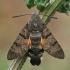 Ilgaliežuvis sfinksas - Macroglossum stellatarum | Fotografijos autorius : Gintautas Steiblys | © Macrogamta.lt | Šis tinklapis priklauso bendruomenei kuri domisi makro fotografija ir fotografuoja gyvąjį makro pasaulį.
