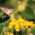 Ilgaliežuvis sfinksas - Macroglossum stellatarum | Fotografijos autorius : Vytautas Gluoksnis | © Macrogamta.lt | Šis tinklapis priklauso bendruomenei kuri domisi makro fotografija ir fotografuoja gyvąjį makro pasaulį.