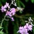 Ilgaliežuvis sfinksas - Macroglossum stellatarum | Fotografijos autorius : Ramunė Vakarė | © Macrogamta.lt | Šis tinklapis priklauso bendruomenei kuri domisi makro fotografija ir fotografuoja gyvąjį makro pasaulį.