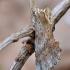 Ilganosis kuoduotis - Pterostoma palpina | Fotografijos autorius : Arūnas Eismantas | © Macrogamta.lt | Šis tinklapis priklauso bendruomenei kuri domisi makro fotografija ir fotografuoja gyvąjį makro pasaulį.
