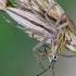 Ilgasis laibavoris - Tibellus oblongus vs. Painioji žolblakė - Leptopterna dolabrata | Fotografijos autorius : Darius Baužys | © Macrogamta.lt | Šis tinklapis priklauso bendruomenei kuri domisi makro fotografija ir fotografuoja gyvąjį makro pasaulį.