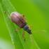 Ilgasis lapinukas - Phyllobius oblongus | Fotografijos autorius : Romas Ferenca | © Macrogamta.lt | Šis tinklapis priklauso bendruomenei kuri domisi makro fotografija ir fotografuoja gyvąjį makro pasaulį.