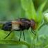 Kamaniškoji žiedmusė - Volucella pellucens ♀ | Fotografijos autorius : Žilvinas Pūtys | © Macrogamta.lt | Šis tinklapis priklauso bendruomenei kuri domisi makro fotografija ir fotografuoja gyvąjį makro pasaulį.