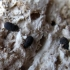 Juodvabalis - Eledona agricola | Fotografijos autorius : Vitalii Alekseev | © Macrogamta.lt | Šis tinklapis priklauso bendruomenei kuri domisi makro fotografija ir fotografuoja gyvąjį makro pasaulį.
