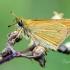 Juodabuožis (=gelsvasis) storgalvis   Fotografijos autorius : Darius Baužys   © Macrogamta.lt   Šis tinklapis priklauso bendruomenei kuri domisi makro fotografija ir fotografuoja gyvąjį makro pasaulį.