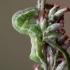 Juodasis sodinis pelėdgalvis - Melanchra persicariae, vikšras   Fotografijos autorius : Zita Gasiūnaitė   © Macrogamta.lt   Šis tinklapis priklauso bendruomenei kuri domisi makro fotografija ir fotografuoja gyvąjį makro pasaulį.